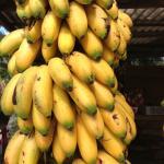 banana-ouro_xerem_1